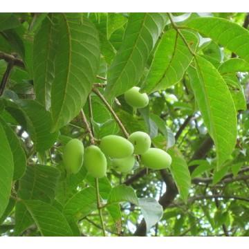 橄榄多酚 橄榄提取物