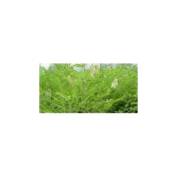 黄芩苷85%