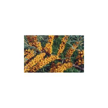 沙棘植物提取物
