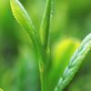 (+)-Catechin,儿茶精,绿茶提取物