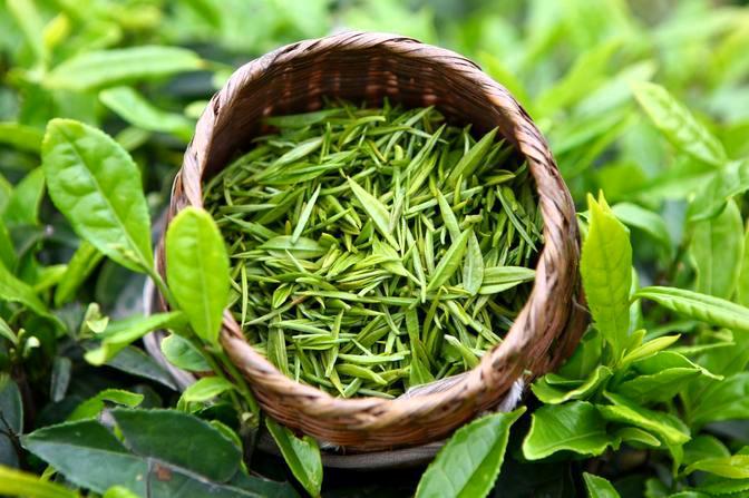 绿茶提取物 95%茶多酚