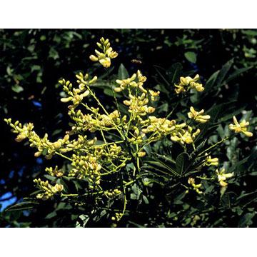 曲克芦丁 植物提取物