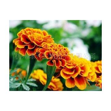 叶黄素粉末 植物提取物