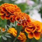 叶黄素 植物提取物