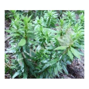 石杉碱甲 植物提取物
