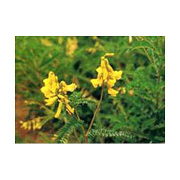 黄芪提取物产品图片