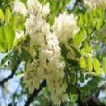 槲皮素 植物提取物