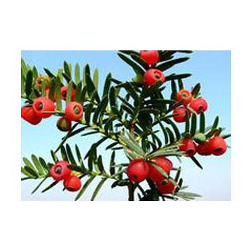 紫杉醇 植物提取物
