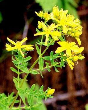 贯叶连翘提取物Hypericum perforatum P.E.