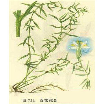 白花蛇舌草产品图片