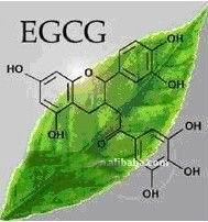 绿茶提取物EGCG-植物提取物