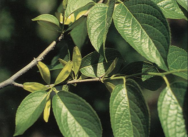 杜仲绿原酸90%HPLC