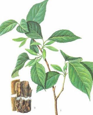 杜仲绿原酸40%HPLC