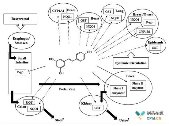 被誉为保健利器的白藜芦醇到底有多神奇?_CP