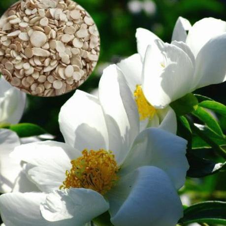 芍药苷——促进胆固醇代谢的好武器