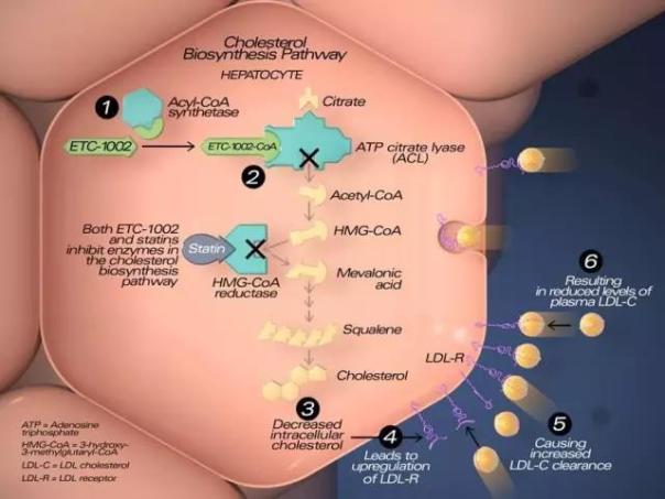 Bempedoic acid的作用机理