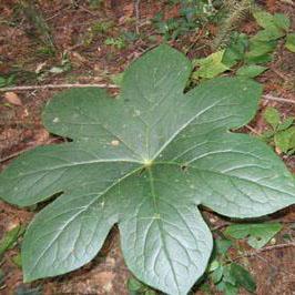 研究发现东北野菜大叶子可降血糖 已大面积人工种植