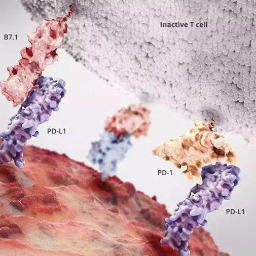 PD-1/PD-L1抗体在多发性骨髓瘤临床试验中连续翻车  原因尚不明晰