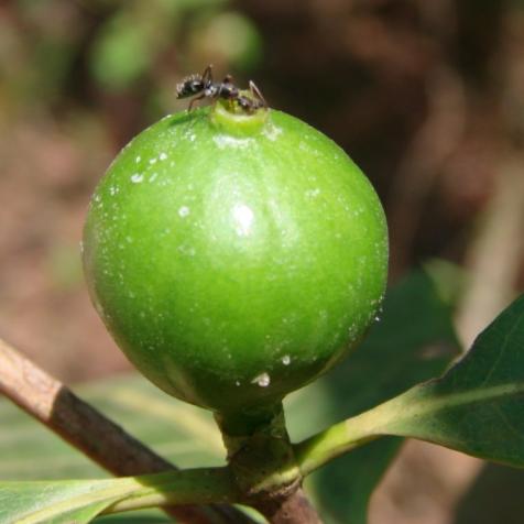 巴西原生甜美植物 树叶代茶饮可药用