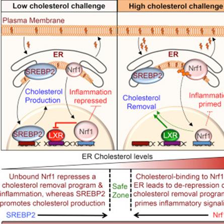 细胞都可以自行调节胆固醇含量,你还做不到么?