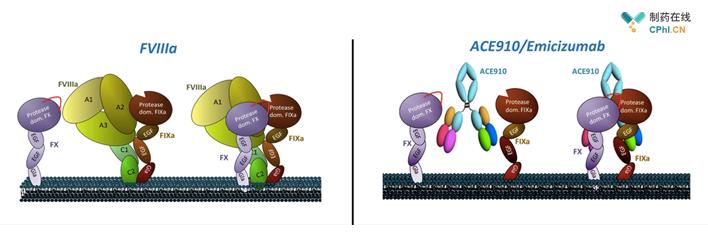 双特异性抗体Hemlibra