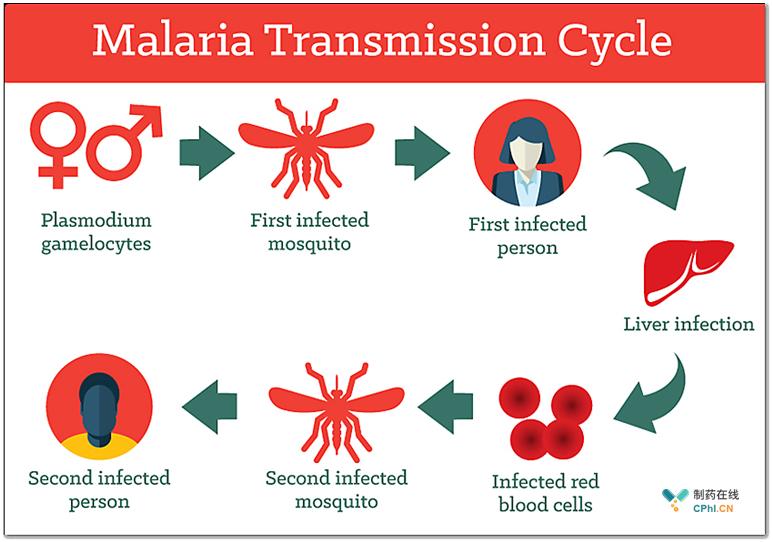 疟疾传播循环途径