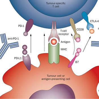 TGF-β抑制剂可改善肿瘤微环境,与免疫检查点抑制剂联合使用增强肿瘤杀伤效果