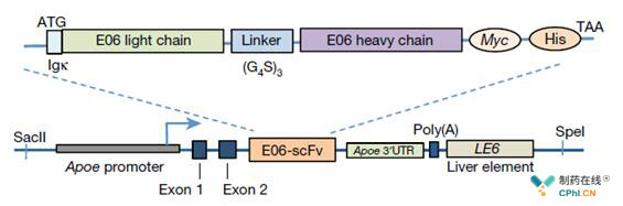 E06-scfv转基因结构