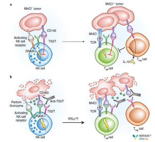 田志刚院士、孙汭教授Nature发文:阻断TIGIT可重塑NK细胞功能并揭示NK细胞在IRs抗体癌症治疗中重要作用