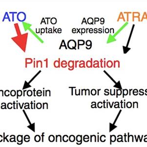 Nature重磅:ATO联合ATRA靶向Pin1为癌症治疗提供新方法