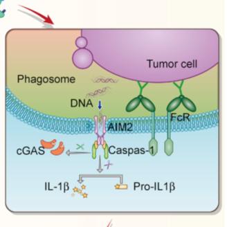 Cell牛文:抗体介导的ADCP反而导致免疫抑制,新发现或可指导联合用药新方案!