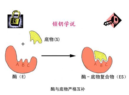 牛胃的结构图片简笔画