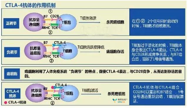CTLA-4抗体作用机制