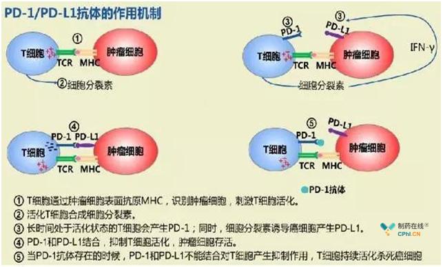 PD-1/ PD-L1的作用机制