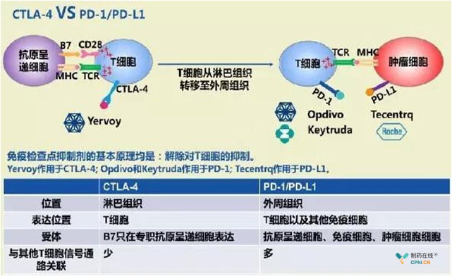 CTLA-4抗体 VS PD-1/ PD-L1