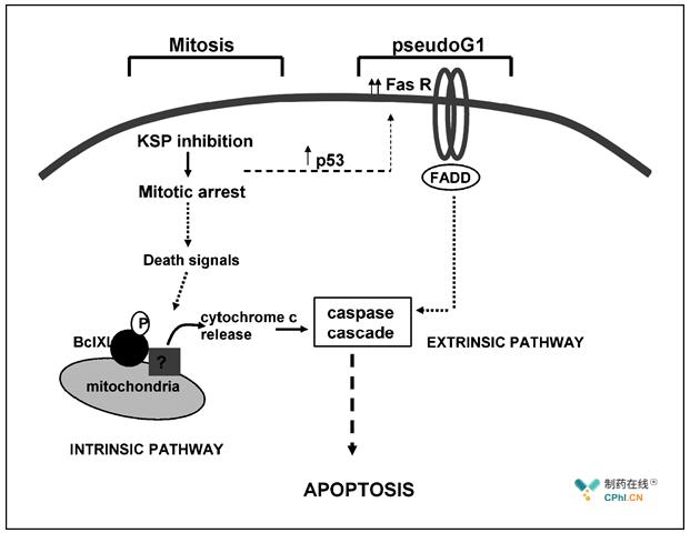 KSP抑制剂诱导细胞死亡的原理