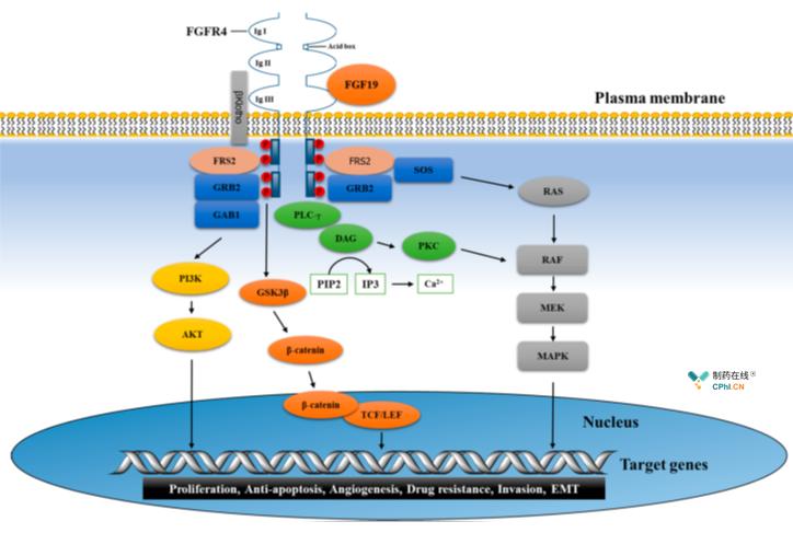 FGFR-4于FGF19结合导致肝细胞癌
