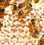 蜂毒素功效多,或对治疗特应性皮炎有益!