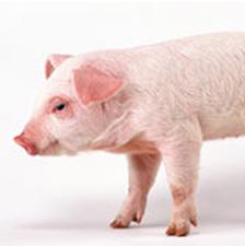 """猪年话""""猪药"""",原来猪身上全是宝!"""
