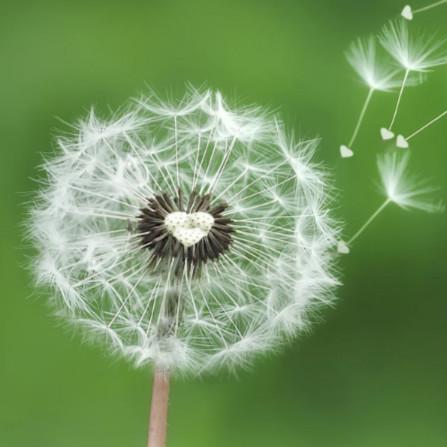 蒲公英及其根提取物 春天里最好的排毒草
