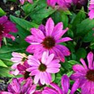 菊科紫锥花天然提取物 印第安人的百年药草