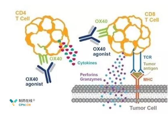 OX40抗体作用机制
