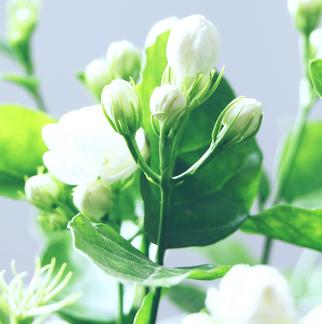 茉莉花提取物茉莉油 一种天然的抗菌制剂