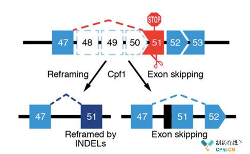 SingleCut CRISPR作用机制