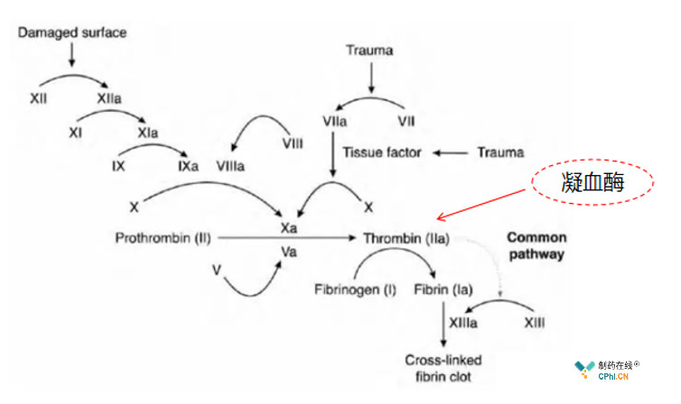 凝血酶在凝血级联过程中的作用