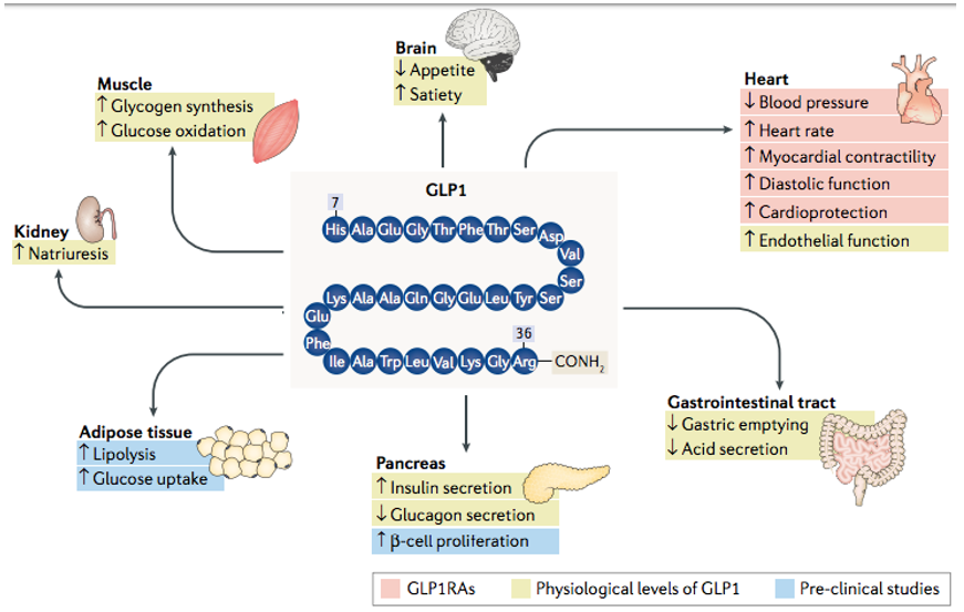 Effects of glP1 and glP1rAs on various tissues