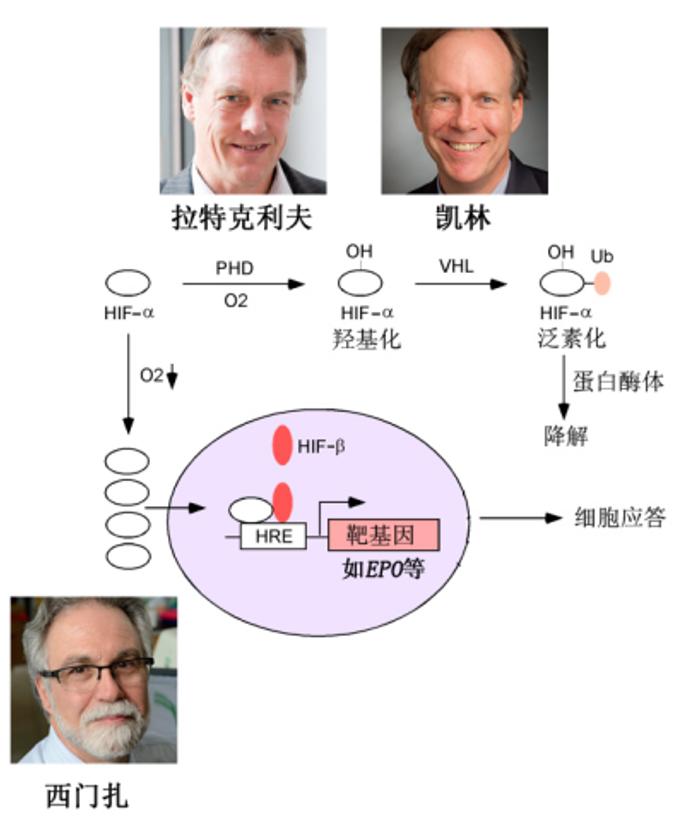 详解2019诺奖研究:低氧信号机制的发现有多重要
