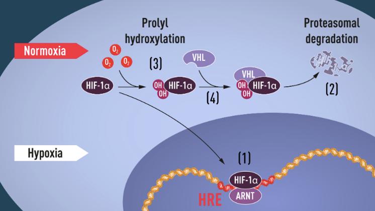 生物体感知氧浓度变化并调节氧浓度平衡的基本机制