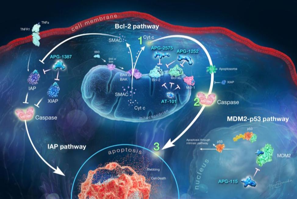 靶向凋亡通路中的关键调控蛋白