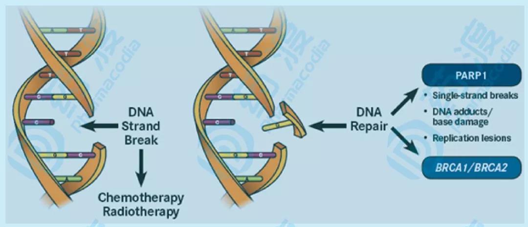 图4、PARP抑制剂药理机制